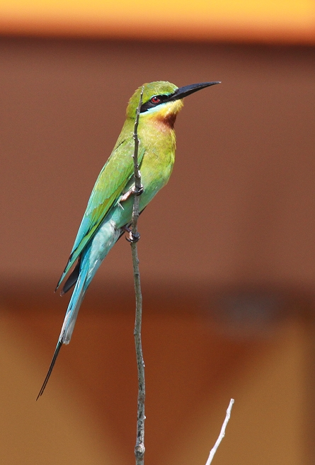 Blue Tailed Bee Eater Singapore Blue-tailed Bee-eater